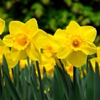 Daffodil Carlton Bulbs